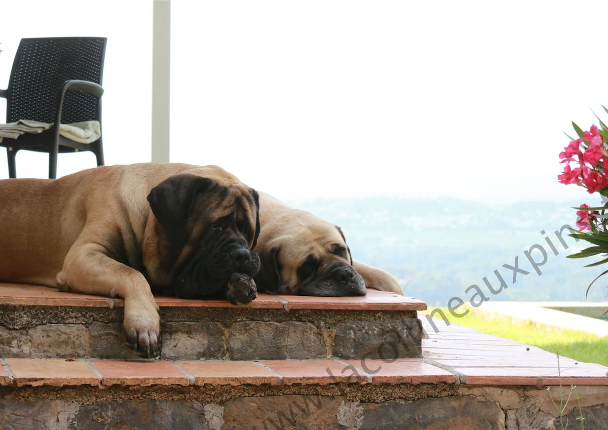 elevage english mastiff