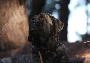 F300 4767 IRIS-femelle-mastiff-elevage-colline-aux-pins-d-or-france