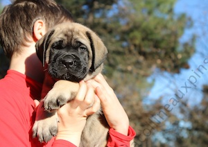 F300 6201 MONTY-male-mastiff-elevage-de-la-colline-aux-pins-d-or