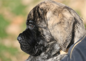 F300 7111 CHIOT-MASTIFF-ELEVAGE-ENGLISH-MASTIFF-EN-FRANCE