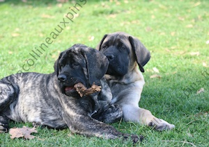 F300 8941 chiot-mastiff-elevage-de-la-colline-aux-pins-d-or