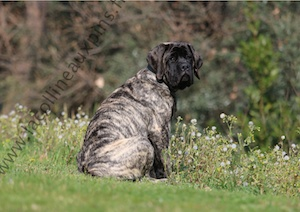 F300 9110 CHIOT-MASTIFF-ELEVAGE-SUD-FRANCE