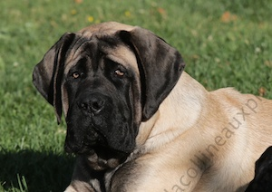 F300 9976 Monty-male-mastiff-colline-aux-pins-d-or