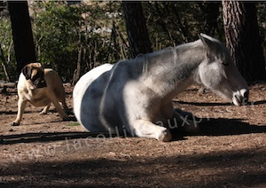 F300 mastiff-et-cheval-elevage-de-la-colline-aux-pins-d-or