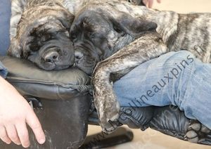 f300 8697 chiot-mastiff-de-la-colline-aux-pins-d-or-elevage-familial