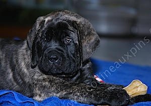 F300 035 MASTIFF-CHIOT-ELEVAGE-DOGUE-ANGLAIS